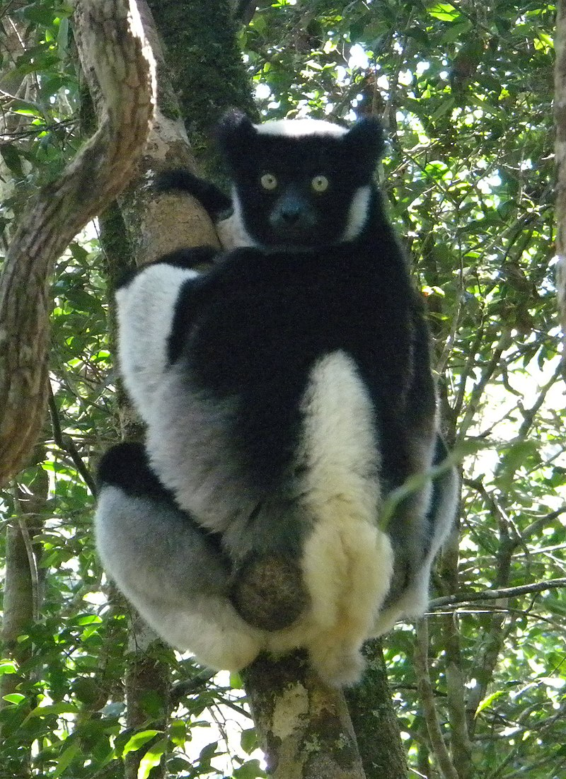 The indri is known locally as babakoto, which translates to