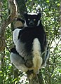 A black-white lemur sitting in trees