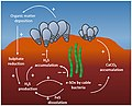 Interactions between reef-building bivalves and cable bacteria.jpg