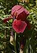Iris cultivar Chanticleer Flower.jpg