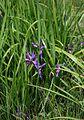 Iris graminea 5.jpg