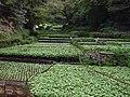 Izu city, Ikadaba, Wasabi fields 20111002 C.jpg