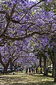Jacaranda are mostly Purple-04 (22698486956).jpg