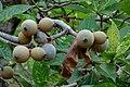 Jagua (Genipa americana) (14741046301).jpg