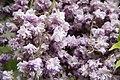 "Japanese Wisteria (Wisteria floribunda) ""Violacea Plena"" (3502718277).jpg"
