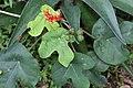 Jatropha podagrica 25zz.jpg