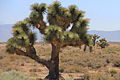 Joshua Tree Focus.jpg