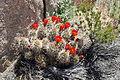 Joshua Tree National Park - Mojave Mound Cactus (Echinocereus triglochidiatus) - 03.JPG