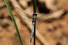 Julia skimmer dragonfly (Orthetrum julia) male.jpg
