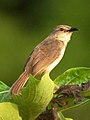 Jungle Prinia Prinia sylvatica by Dr. Raju Kasambe DSC 1766 (1).jpg