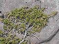Juniperus communis alpina An Teallach.jpg