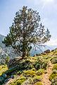 Juniperus thurifera, u soliu, Corsica.jpg