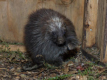 North American Porcupine Wikipedia