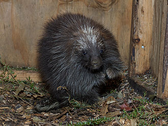 North American porcupine - Juvenile male – young males spend their first winters with their mothers.