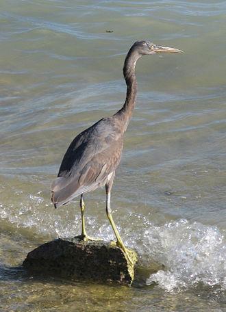 Pacific reef heron - Image: Juvenile Reef Egret