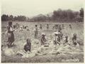 KITLV - 3747 - Kurkdjian - Soerabaja - Rice harvest in Mojokerto - circa 1900.tif