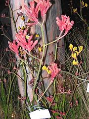 Kangaroo Paw plant garden show 2
