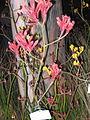 Kangaroo Paw plant garden show 2.jpg