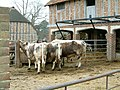 Kentwell Hall 2004 Longhorns.jpg