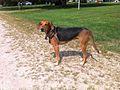 "Kerry Beagle ""Coco"".jpg"