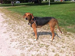 "Kerry Beagle ""Coco"".jpg"