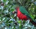 File:King Parrot Feeding.ogv