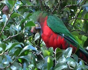 Fail:King Parrot Feeding.ogv