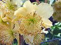 Kiwi Male flower.jpg
