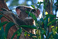 Koala (Phascolarctos cinereus) (10018467353).jpg