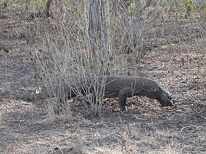 Komodo-dragon-2.jpg