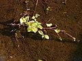 Korina 2011-08-01 Fallopia japonica.jpg