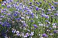 Kornblume (Centaurea cyanus) (9478061405).jpg