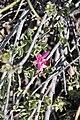 Krameria cistoidea Desierto Florido 2011 Cuesta La Totora 02.jpg