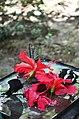 Kupu-kupu berebut sari di Pusat Penangkaran Kupu-kupu di Taman Nasional Bantimurungg-Bulusaraung.jpg