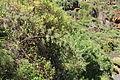 La Palma - San Andrés y Sauces - Barranco del Agua + Calle Los Tilos - Asparagus scoparius 02 ies.jpg
