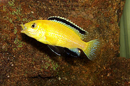 Labidochromis caeruleus from Lake Malawi