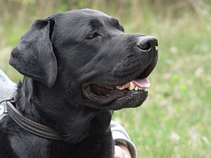 Labrador Retriever - Black Labrador Retriever