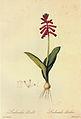 Lachenalia bulbifera in Les liliacees.jpg