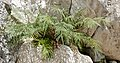 Ladder Brake Fern (Pteris vittata) (34931937634).jpg