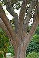 Lagerstroemia indica in Jardin des plantes 01.jpg