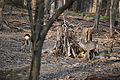 Lainzer Tiergarten Rehe 01.jpg