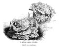 Laitue sans rivale Vilmorin-Andrieux 1904.png