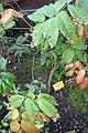 Landolphia owariensis-Jardin botanique Meise (1).jpg