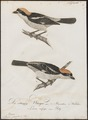 Lanius senator - 1800-1812 - Print - Iconographia Zoologica - Special Collections University of Amsterdam - UBA01 IZ16600435.tif