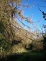 Larch Tree on footpath - geograph.org.uk - 1145573.jpg