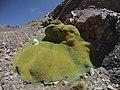 Laretia acaulis (Atacama-Chile).JPG