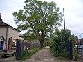 Large black poplar (Populus nigra unknown hybrid) - geograph.org.uk - 91568.jpg