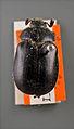 Lasiocala arrowi paratype dorsal.jpg