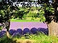 Lavendel - panoramio.jpg
