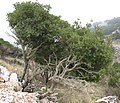 Leaves begin, where goats end - panoramio.jpg